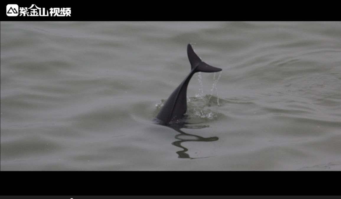 紫金山视频作品《微笑的江豚》